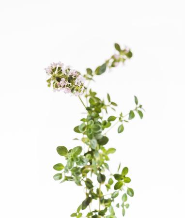 tomillo: flores de tomillo aisladas