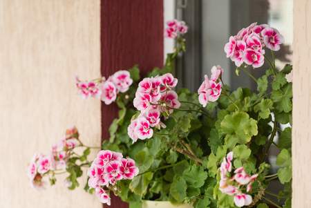 fillers: geranium flowers
