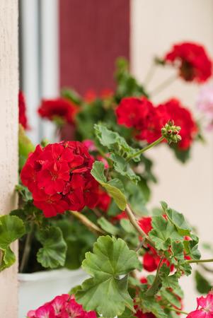 trailing: geranium flowers