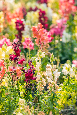 snapdragon: colourful snapdragon flowers in the garden Stock Photo