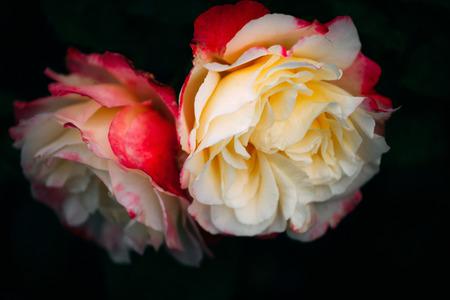 nice roses Stock Photo