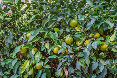 submersion: ripe grapefruit at tree Stock Photo