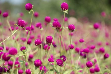 globosa: Gomphrena (Gomphrena Globosa Purple)  in garden Stock Photo