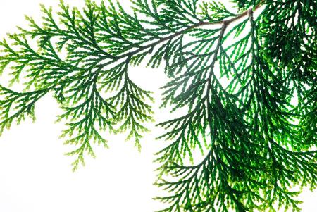 cypress on white background