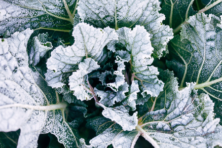 Decorative cabbage in hoarfrost Stock Photo