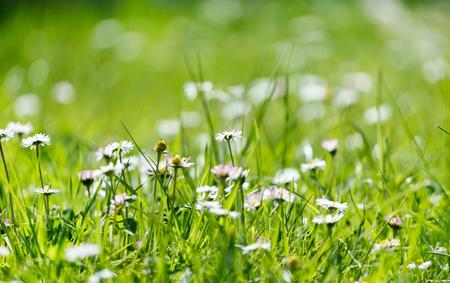 marguerite: daisy field