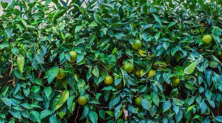 florida citrus: green oranges Stock Photo