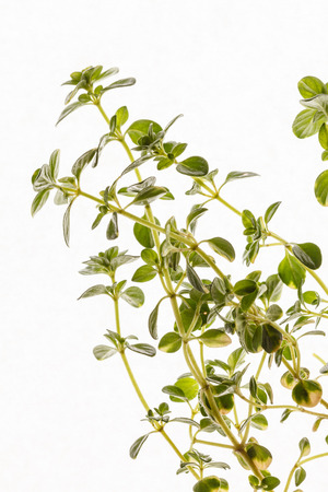 tomillo: thyme isolated