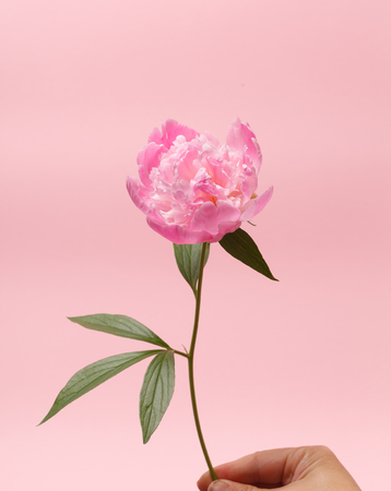 subtlety: peony in the hand Stock Photo