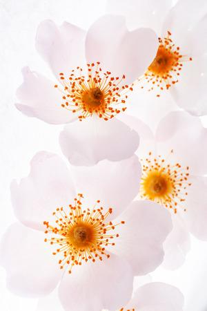 wild rose Stock Photo