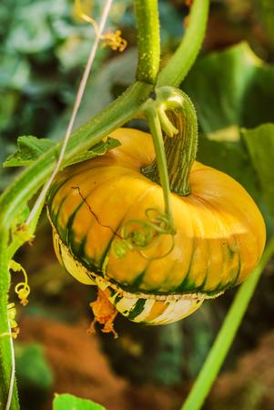 decorative pumpkin