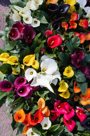 calla flowers Stock Photo - 78183031