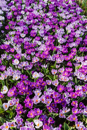 crocus flowers Stok Fotoğraf