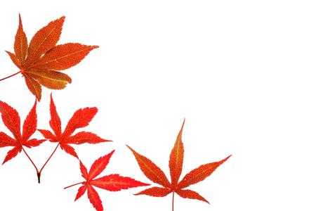 momiji: autumn leaves