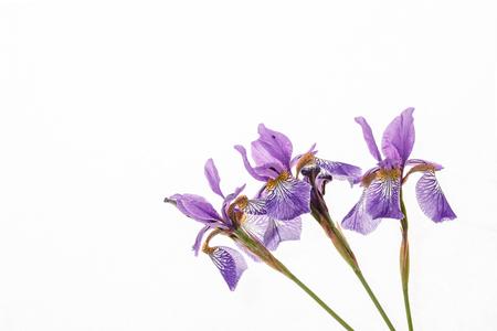 iris flower Banco de Imagens