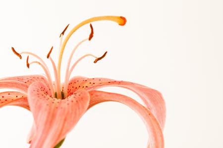 nice lily Stock Photo
