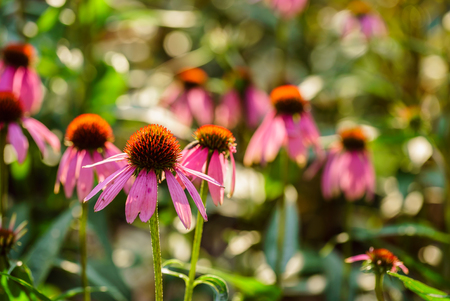 ichinacea flowers