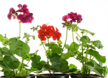 sorts: geranium flowers isolated