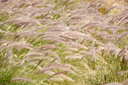 fluffy grass Banco de Imagens - 80059352