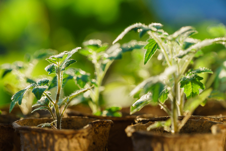 horticultural: Tomato plants in the early stages of growth. Stock Photo