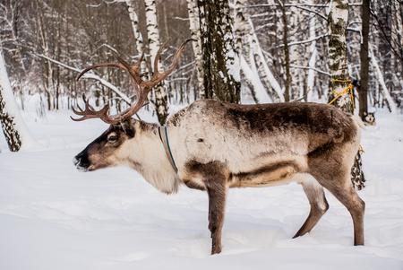북부 사슴