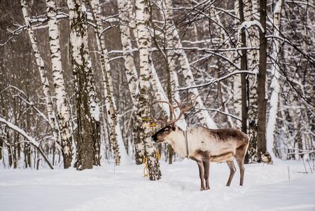 Northern house deer