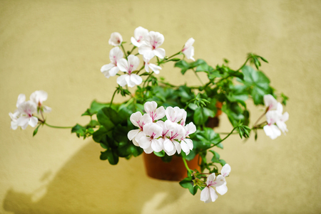 花ゼラニウム 写真素材 - 80878419