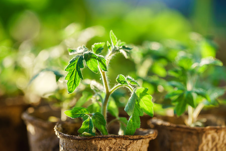 Tomato plants in the early stages of growth. Imagens