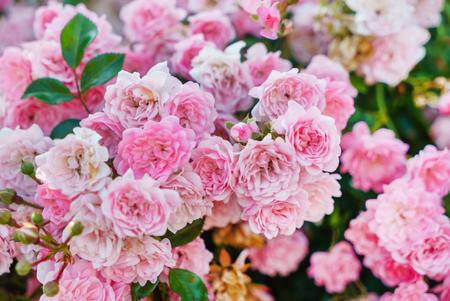 nice roses in the garden Фото со стока