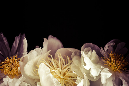 white peonies 写真素材