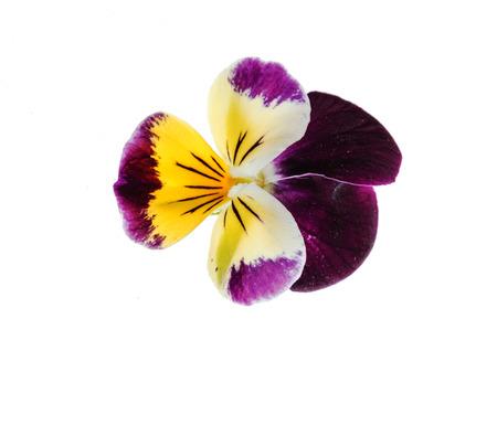 pansies flowers Stock Photo - 81517993