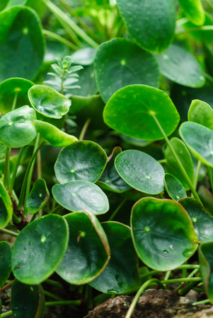 pilea peperomioides Stock Photo - 82198154