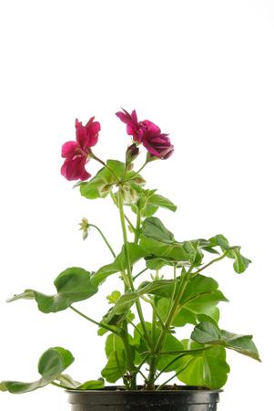 geranium flower Stock fotó