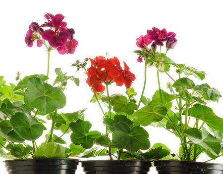 geranium flower Stok Fotoğraf