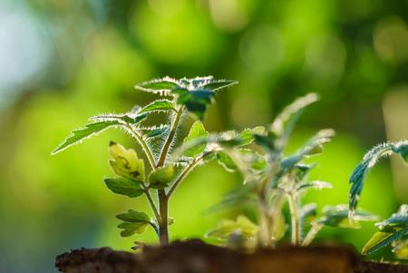 Tomatenplanten in de vroege stadia van de groei.