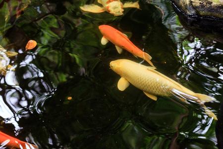 Kleurrijke Koi of Karpische Chinese Vis in Water