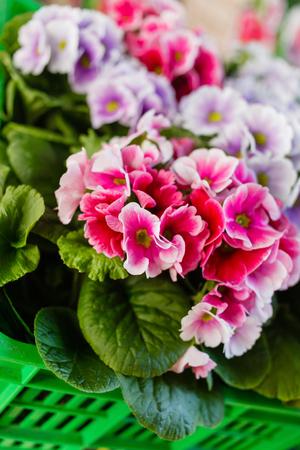 Colorful Primroses