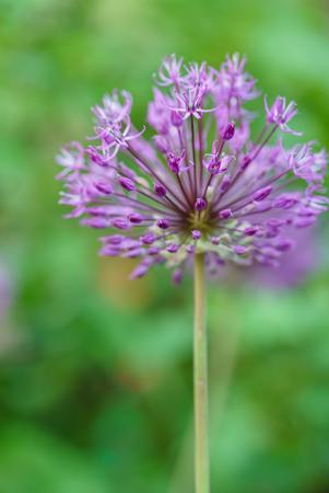 알리움 꽃 스톡 콘텐츠