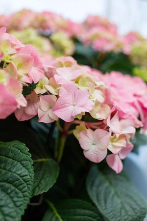 hydrangea flowers Zdjęcie Seryjne - 83108342