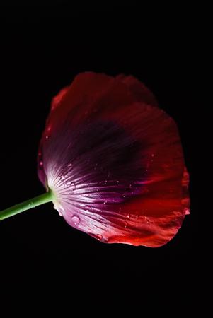 검정색 배경에 양귀비 꽃