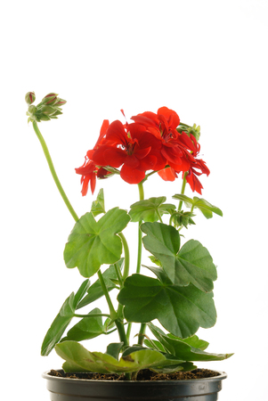 geranium flower in the pot isolated