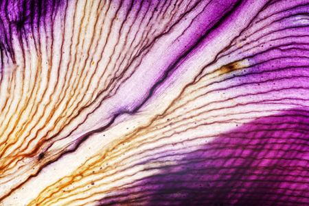 Iris petali closeup Archivio Fotografico - 83258742