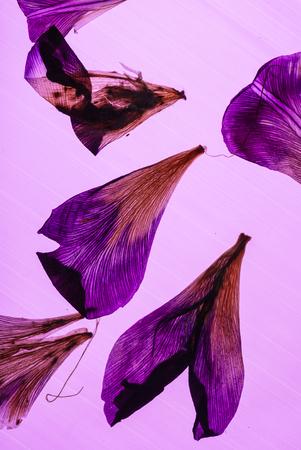 Petali di iris su sfondo rosa Archivio Fotografico - 83481568