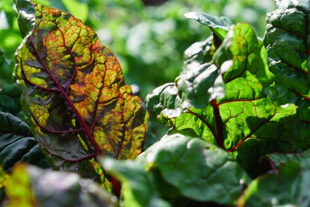mangold bladeren