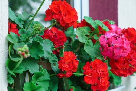 Flores de geranio Foto de archivo - 83491268