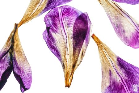 Iris petali closeup Archivio Fotografico - 83813097