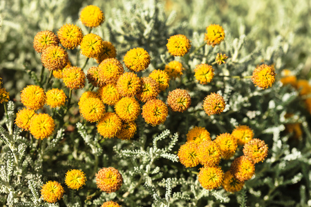 Santolina chamaecyparissus also known as Cotton lavender 版權商用圖片