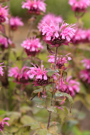 Monarda (bee balm, horsemint, oswego tea, bergamot) in full bloom Stock fotó