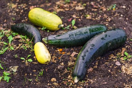 harvest of zucchini