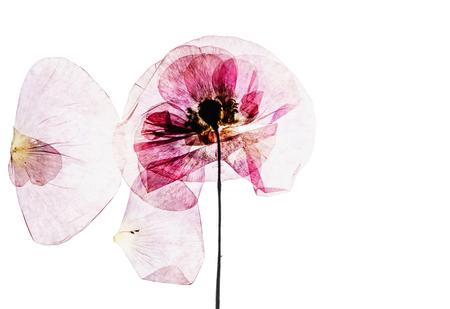 마른 양귀비 꽃